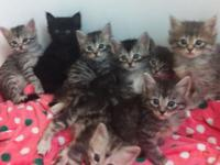 Part Mainecoon /part jungle cat. Kittens ready first