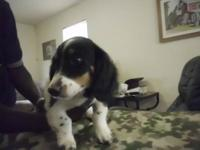 Junior is a handsome black and tan longhair piebald