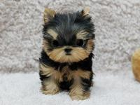 We beautiful AKC Yorkshire Terrier Puppies for family.,