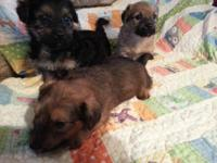 Cute little yorkie poms ready for their new homes... We