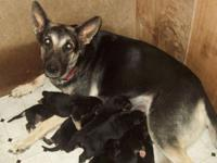 AKC Registered German Shepherd Puppies, black/tan born