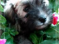 Ckc Miniature Schnauzer puppies will be ready Dec.16th