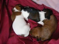 Look at these sweet AKC registered mini Dachshunds