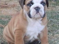 AKC English Bulldog Red and White Male Puppy. Fantastic