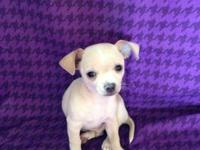 Adorable male chihuahua he is 9 weeks old, born on July
