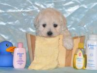 Adorable toy-size Yorkipoo puppies available now.