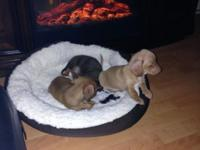 I have 3 BEAUTIFUL dachshund young puppies. Born Oct