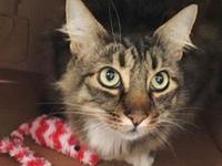 My story Justice is a handsome tabby with a bushy tail.