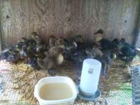 I have some Juvenile Mallard Ducklings as well as