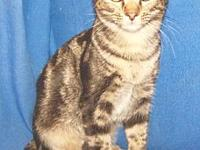 My story I'm sweet and playful. I'm a dark brown tabby