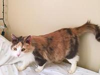 K2's story K2 Dilute Calico DOB 4/15/2014 Once upon a