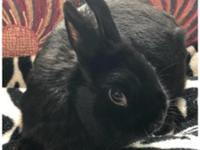 Kabuki is an exotic, all black dwarf rabbit, with shiny