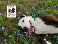 Kade is a 1 year old American Staffordshire Terrier. He
