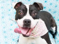 Kadence is a 1 year old pit bull mix that is around 50