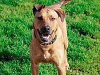 Kami's story Kami is a 1 year old 70# Black Mouth Cur