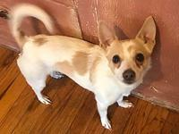 Kamy's story Kamy is a 2 year old chi/Pom. She is house