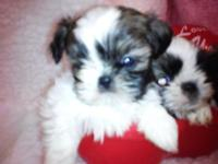 Mom Kandi is a AKC 6 pounds liver & & wht Shih Tzu &