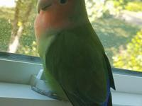 Kanina is a sweet lovebird who wants a family to belong
