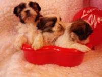 Mom Kara is a 51/2 lbs gold & & wht Shih Tzu & Daddy
