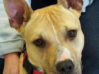 Karma is a wonderful spayed female Pit Bull, blonde
