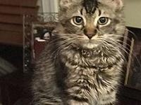 Kashmir's story Kashmir is an easy going kitten who