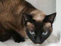 Kat's story The Tonkinese cat was originally an
