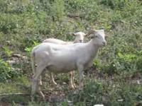 Great Breeder Ram born 1-31-10 He has horns and he is