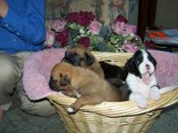 Our AKC Boxer Puppies are raised in our home with tons