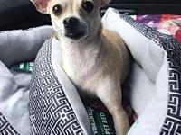 Katie's story Katie is a 2-3 year old chi. She is