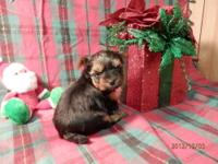 850.00 Kaylin Yorkshire Terrier Female Kaylin is a