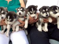 Animal Type: Dogs Kc Beautiful Family Bred Siberian