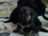 Three AKC German Shepherd puppies still available - 2