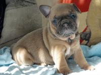 Beautiful   French Bulldog puppies looking