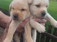 Kc Registered Labrador PuppiesIf you would like to come