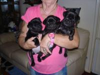 Fantastic litter of pug puppies born on the 9th of july