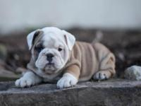 Bsduy English Bulldog Pups for sale $500** male and