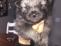 We have a gorgeous litter of Keeshond puppies that will