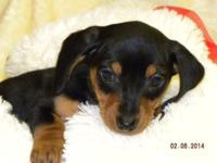 KELLY is a female smooth coat black & & tan miniature