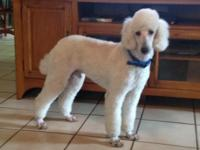 Kelly is a F1b goldendoodle puppy. Mother is a F1
