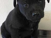 Kelp's story Kelp is a 6-week-old Lab mix puppy who