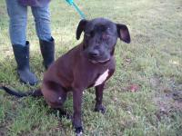 1-2 yr old female lab mix about 50 pounds. She is