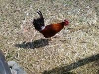 Young Kelso game stag rooster $10 9 months old Can work