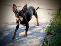 My story Kenny is a five-pound, 10-12-month-old Min Pin