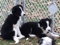 We have 2 male border collies and 1 female left in the