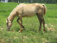 Kentucky Mountain Saddle Horses ,  6 months old
