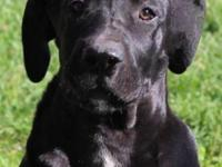We have an AKC black female Great Dane puppy looking