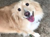 Meet Kenzy. Kenzie is a 7 year old sheltie mix who is