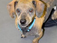 Kermit is a sweet Dachshund who was abandoned at