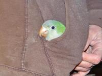 Kermit is a baby Quaker Parrot. He takes a little