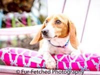 Kesha came to the farm with several other beagle